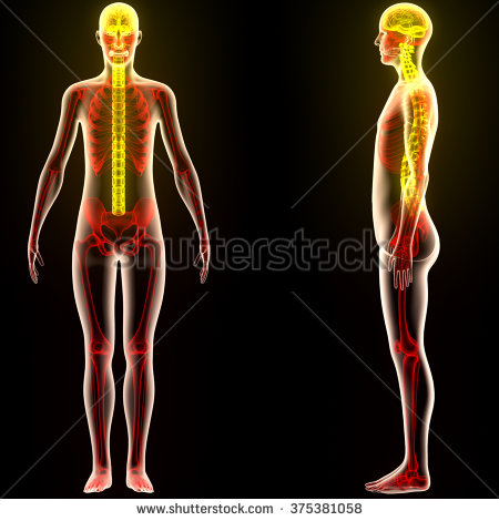 What Is Human Skeleton System:Complete Guide About Human Bones