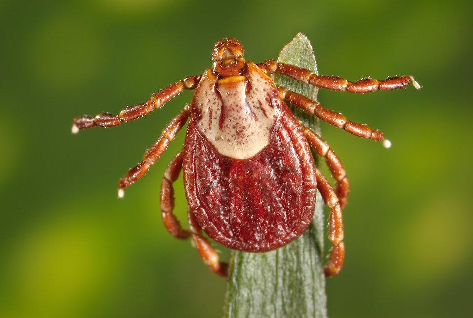 What Is Colorado Tick Fever:Symptoms,Treatment,Diagnosis