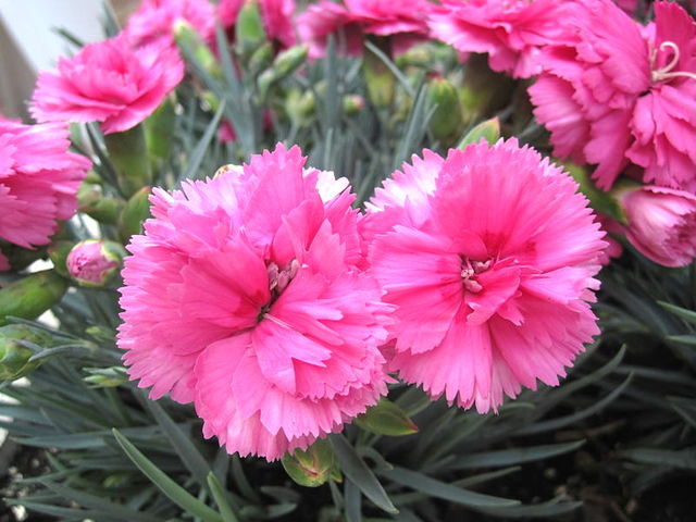 Growing Carnations;How To Grow Pink Carnation In Garden