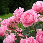 What Is Peonies(Peony):How To Grow And Plant Peony In Garden