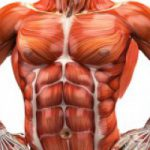What Is The Importance of Muscles System In Human Body;Practical Guide
