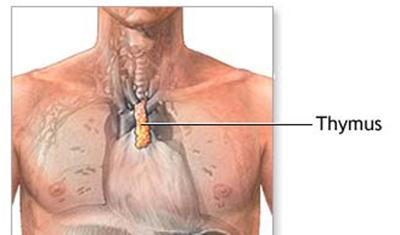 What Is Thymus Gland In Human;What Does They Do