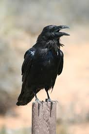 Why can rooks use the same nests year' after year ?