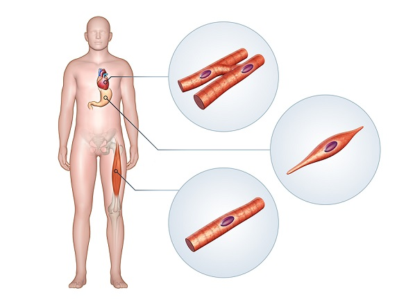 What Are Different Types of Muscles In Human Body