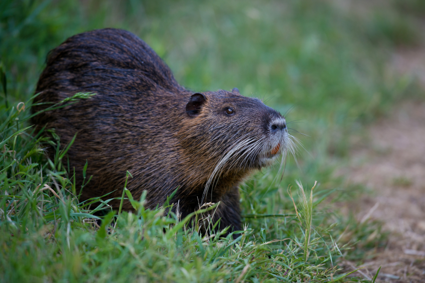What Is Nutria;10 Facts You Must Know