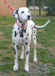 what is dalmation dog