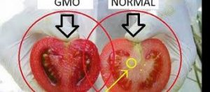 What Are GMO Foods;What Their Risks Are