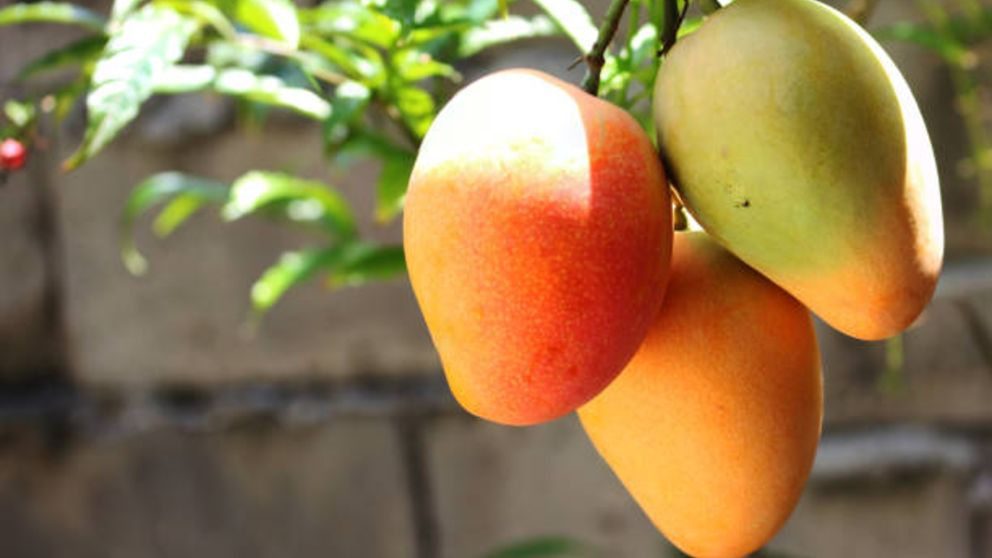 How To Plant Mango Tree;Step By Step Guide