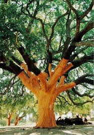 What Is Cork Tree In India